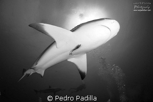 Save Our Sharks aims to educate about the true nature of ... by Pedro Padilla 